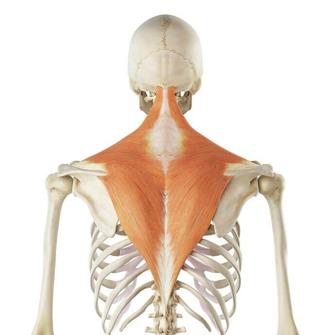 anatomy of the trapezius muscle